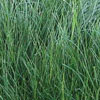 Red Creping Fescue— (Festuca rubra var. rubra)