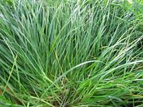 Annual Ryegrass— (Lolium multiflorum)